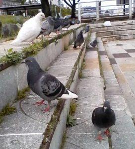 食後にくつろぐハトたち